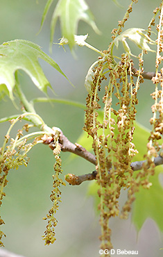Red Oak Male catkins