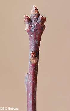 Red Oak Twig