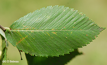 leaf upper surface