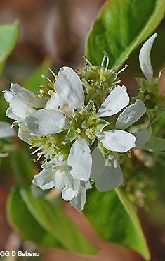 Serviceberry flower