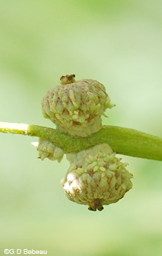 Swamp White Oak acorn growth