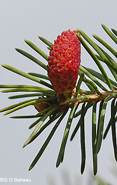 White Spruce female flowers