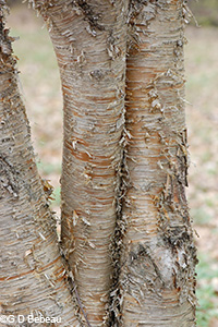 Yellow Birch bark