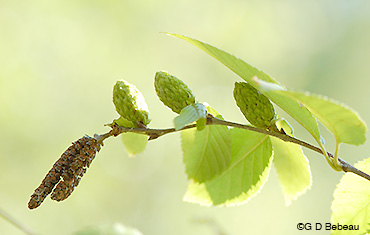 Yellow Birch catkins