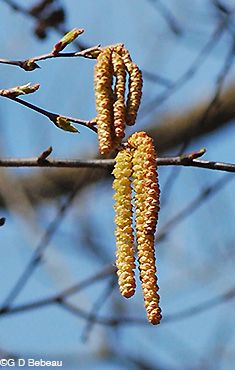 Yellow Birch Male catkin