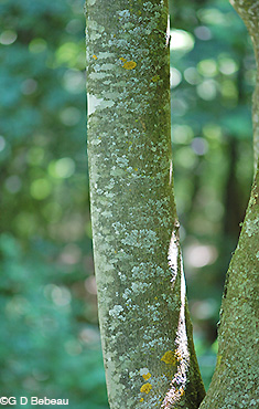 Yellowwood bark