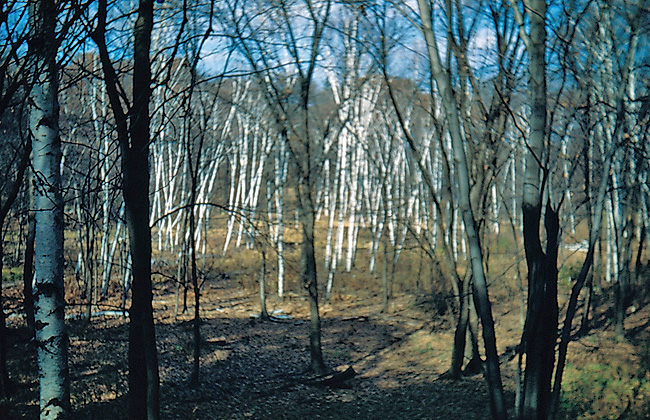 birches in wetland - historical