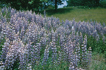 Lupines in the Garden