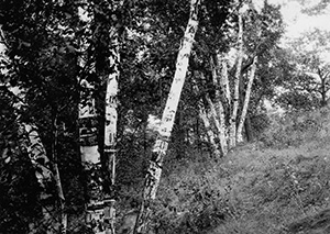 old birches