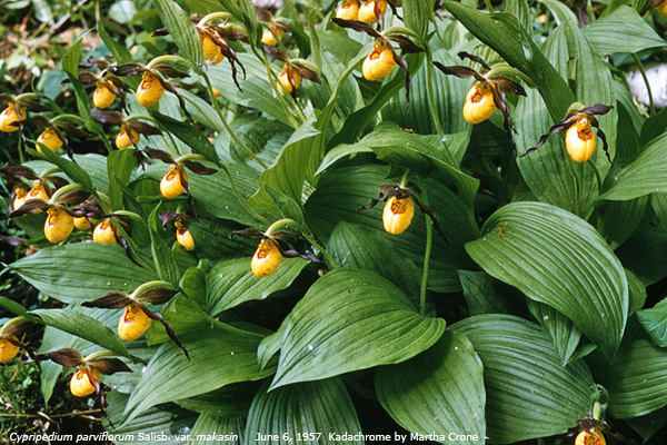 Historical photo Yellow Lady's-slipper