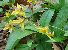 Yekkow Trout Lily