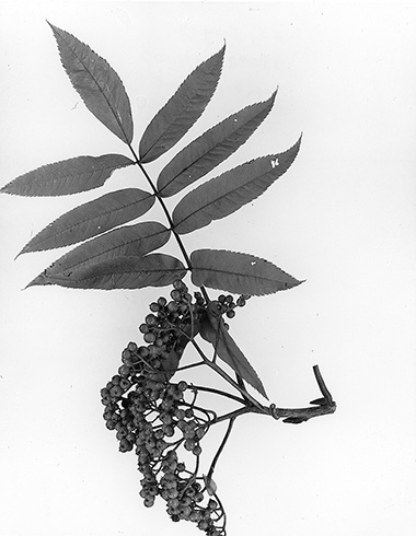 leaf and fruit