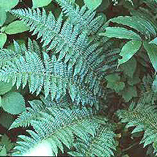 Braun's Holly Fern