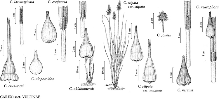 drawings of carex section vulpinae