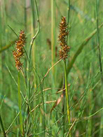 Awl-fruit Sedge