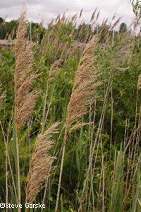Common reed