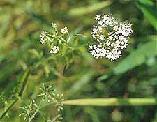 Cutleaf Waterparsnip