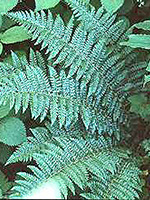 Braun's Holly Fern frond