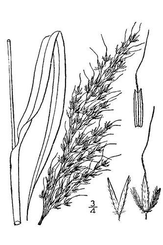 Indian Grass Drawing