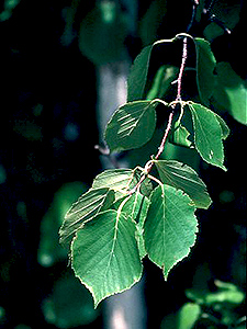 Heart-leaved Birch