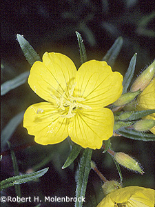 Narrowleaf Evening Primrose