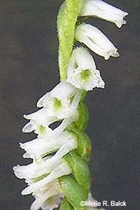 Northern Slender Lady's Tresses