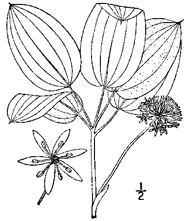 drawing Smilax ecirrhata