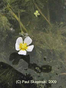 White Water Crowfoot