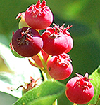 Allegheny Serviceberry fruit