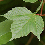 Highbush cranberry leaf