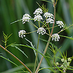 Bulblet-bearing Waterhemlock