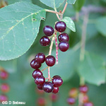 Chokecherry fruit