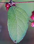 Coralberry leaf