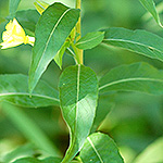 Common Evening Primrose leaf