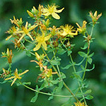 Common St. Johnswort plant