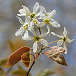 Downy Juneberry