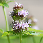 Downy Woodmint