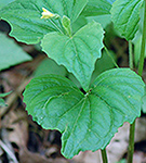 Downy Yellow Violet leaf