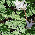 Dutchman's Breeches leaf