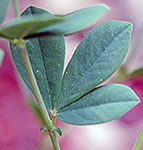 False Blue Indigo Leaf