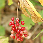 False solomon's seal fruit