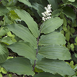 False Solomon's Seal plant section