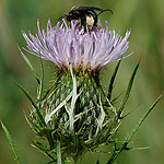 Filed Thistle