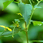 Fringed Loosestrife leaf