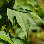 Green-headed Coneflower leaf