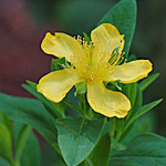 Great St. Johnswort