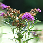 Ironweed plant top