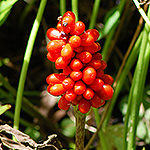 Jack-in-pulpit fruit