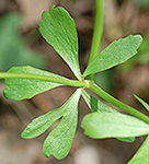Kidneyleaf buttercup stem leaf