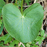 Marsh Marigold leaf